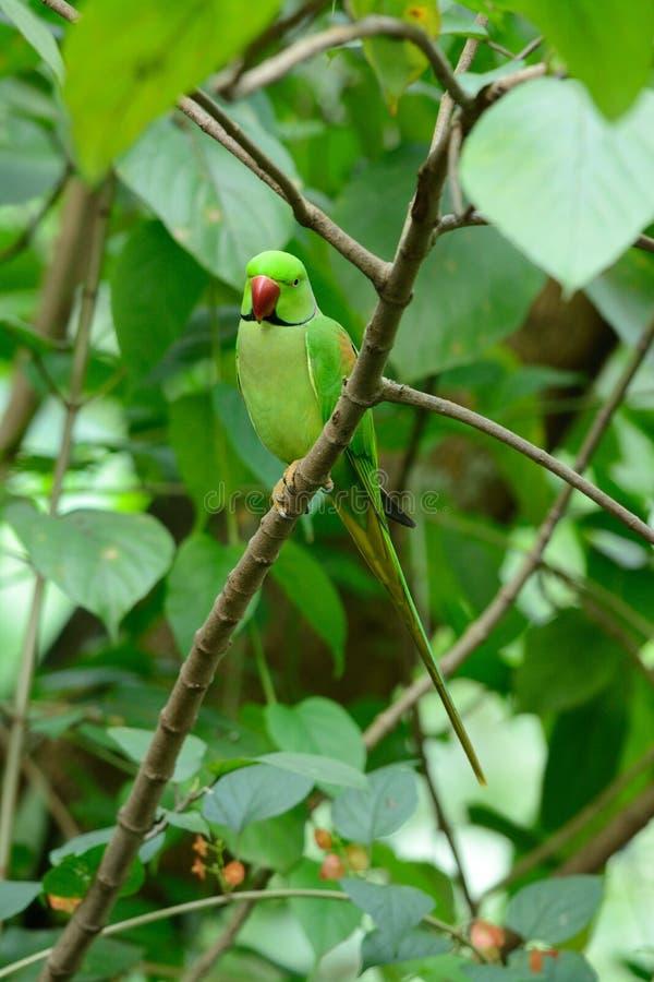 Męski aleksandrynu Parakeet (Psittacula eupatria) obrazy royalty free