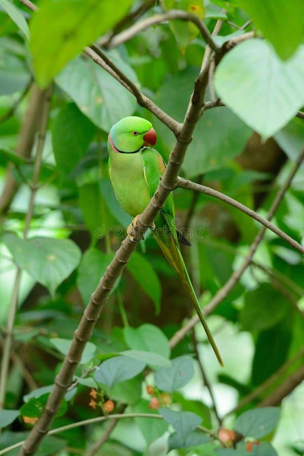 Męski aleksandrynu Parakeet (Psittacula eupatria) obrazy stock