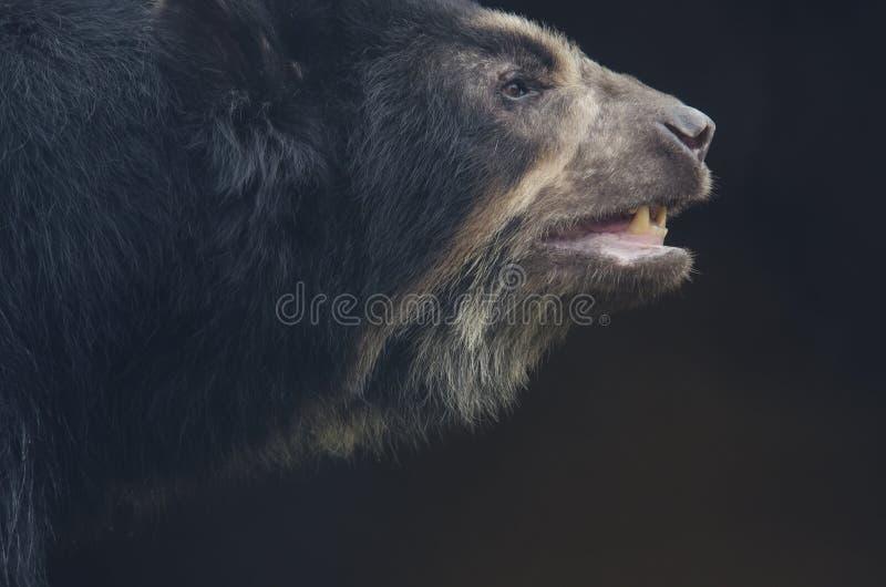 Męski andyjski niedźwiedź 4 fotografia stock