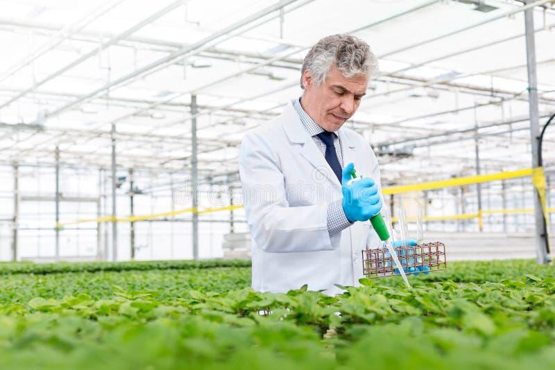 Męski biochemik używa pipetę na ziele w rośliny pepinierze zdjęcie stock