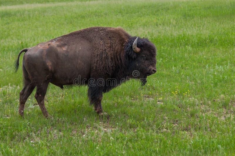 Męski bizon na zboczu obraz royalty free