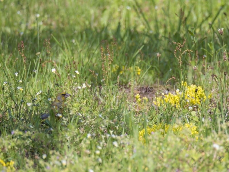 Męski Europejski greenfinch Chloris chloris karmienie na ziarnach przy zieloną kwitnącą łąką Selekcyjna ostro?? zdjęcia royalty free