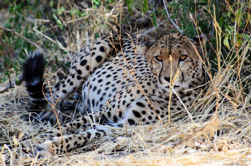 Męski gepard na strażniku zdjęcia stock