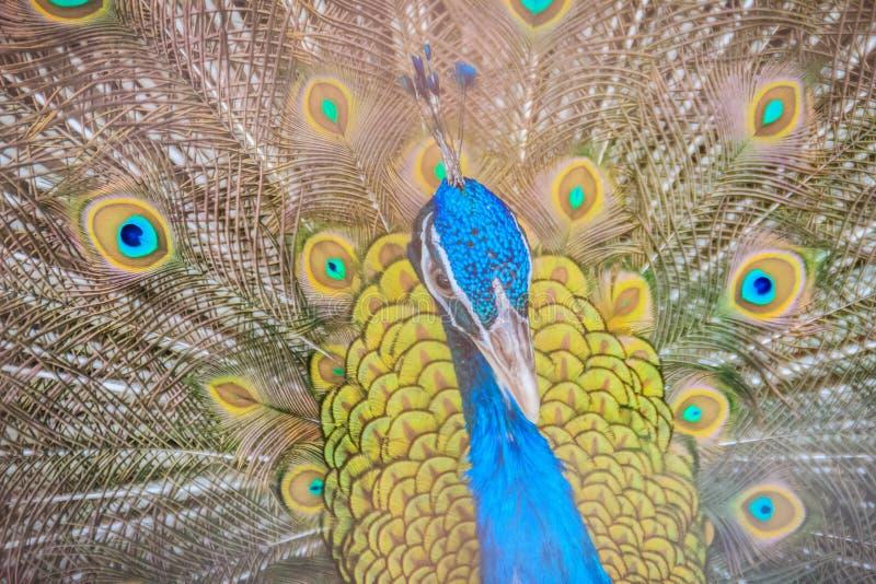 Męski Indiański peafowl lub błękitny peafowl, ampuła (Pavo cristatus) obrazy royalty free