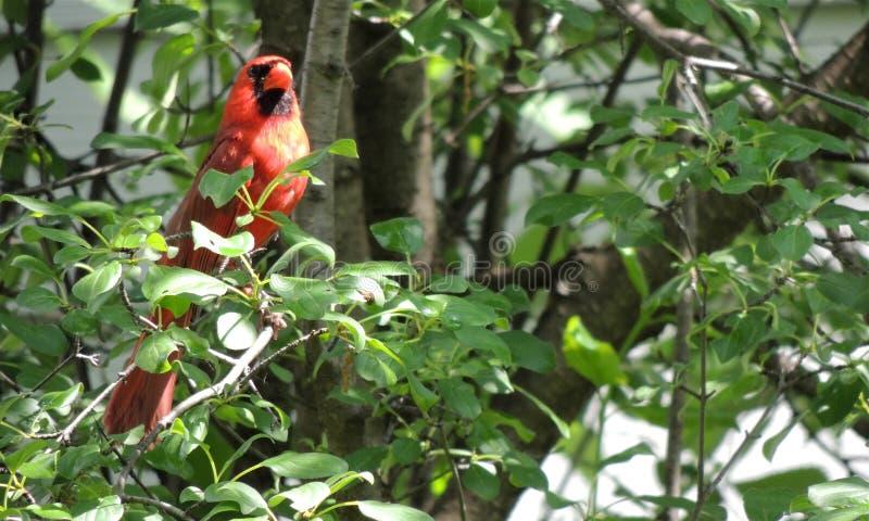 Męski kardynał w drzewie zdjęcia royalty free