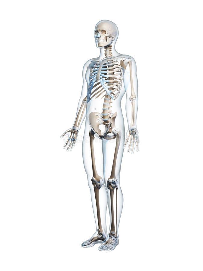 Download Męski kościec ilustracji. Ilustracja złożonej z anatomiczny - 28961405