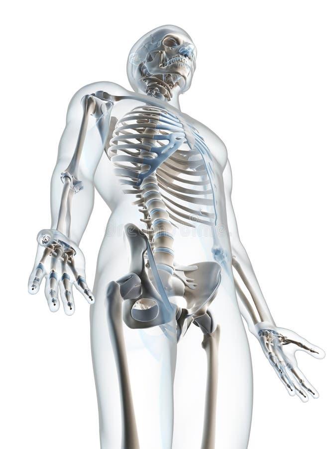 Download Męski kościec ilustracji. Ilustracja złożonej z anatomia - 28961413