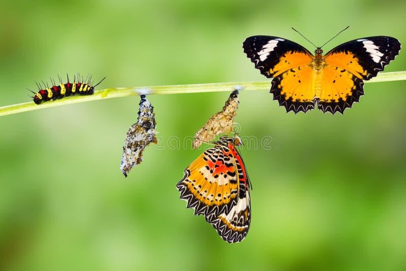 Męski lamparta lacewing motyla etap życia zdjęcie stock