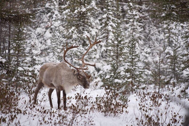 Męski lasu caribou zdjęcie royalty free