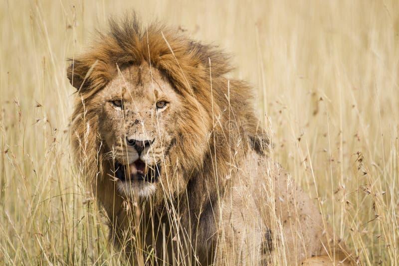 Męski lew zdjęcie stock