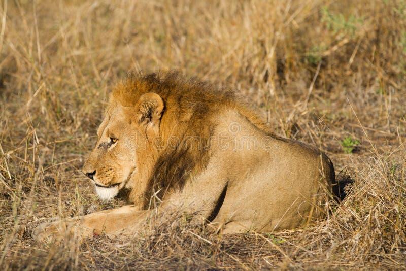 Męski lew, Botswana zdjęcie stock
