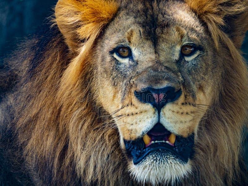Męski lew gapi się przy kamery zakończeniem up zdjęcia stock