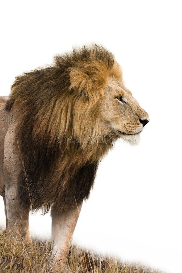 Męski lew odizolowywający obrazy stock