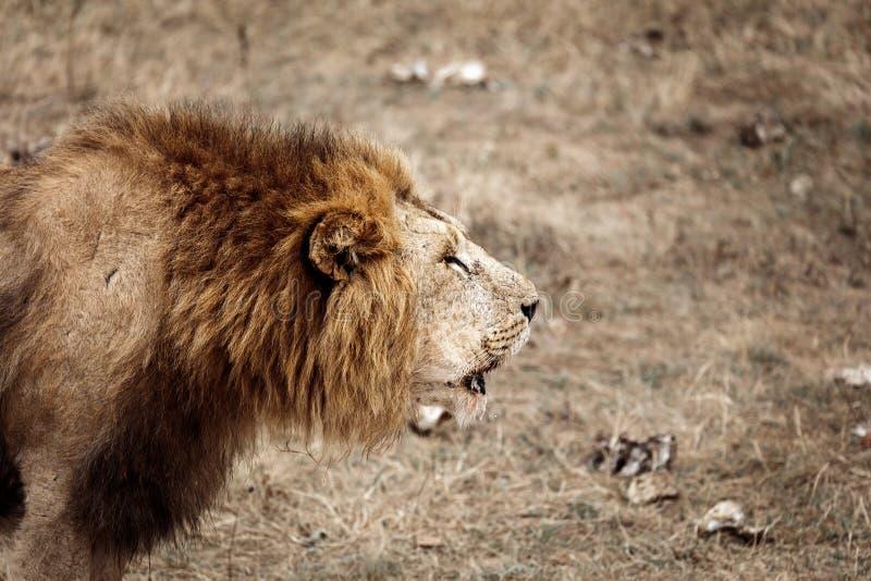 Męski x28 & lew; Panthera Leo& x29; w sawannie zdjęcie stock