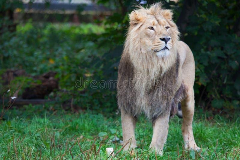 Męski lew przegląda krajobraz zdjęcie royalty free