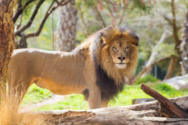 Męski lew przy safari stylu parkiem zdjęcie stock