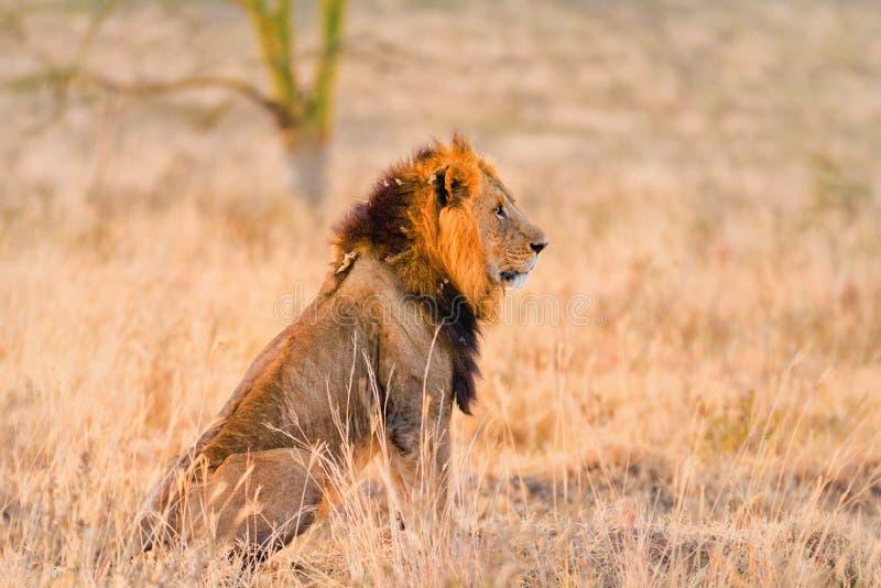 Męski lew w Amboseli obrazy stock