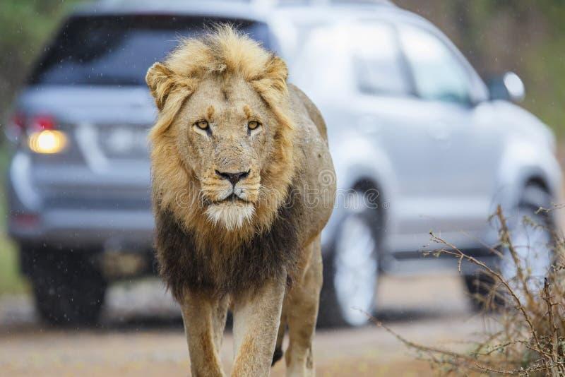 Męski lew w Kruger NP - Południowa Afryka obraz royalty free
