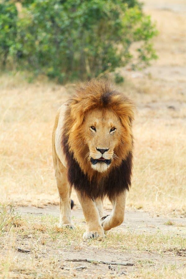 Męski lew w Masai Mara obrazy stock