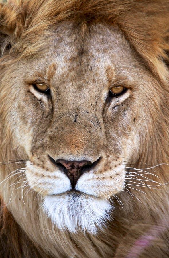 Męski lew w Tanzania parku narodowym obraz stock