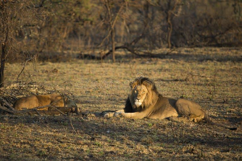 Męski lew w wczesnego poranku świetle zdjęcia royalty free