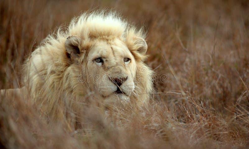 męski lwa biel fotografia stock
