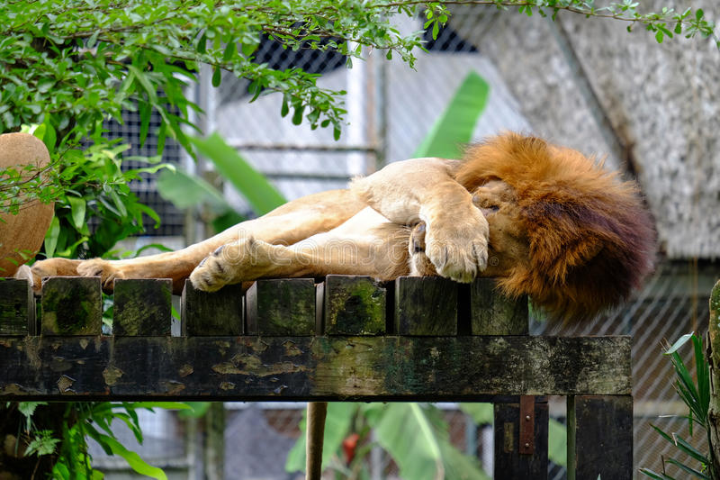 Męski lwa dosypianie zdjęcia royalty free