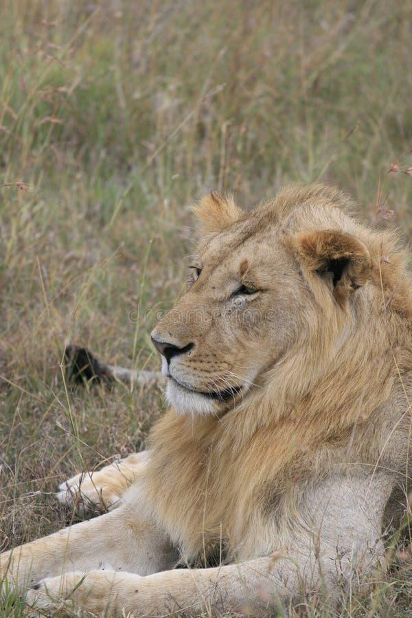 Męski lwa lying on the beach w suchej trawie odpoczywa w Masai Mara, Kenja zdjęcia stock