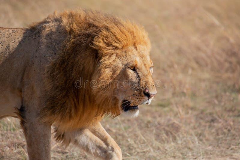 Męski lwa odprowadzenie w trawie, Masai Mara zdjęcia royalty free