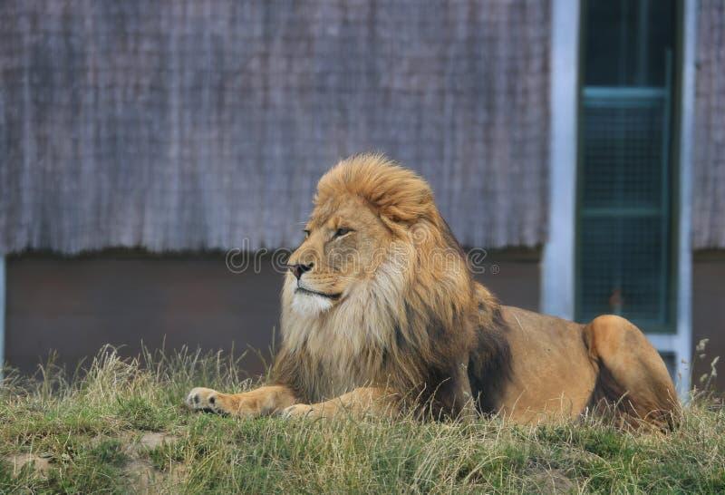 Męski lwa usadowić obrazy royalty free