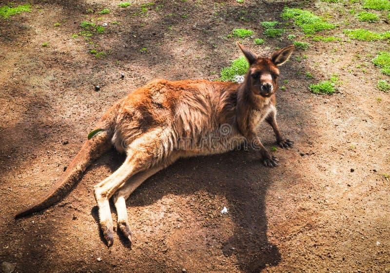 Męski Młody czerwony kangur relaksuje na ziemi w zoo obrazy stock