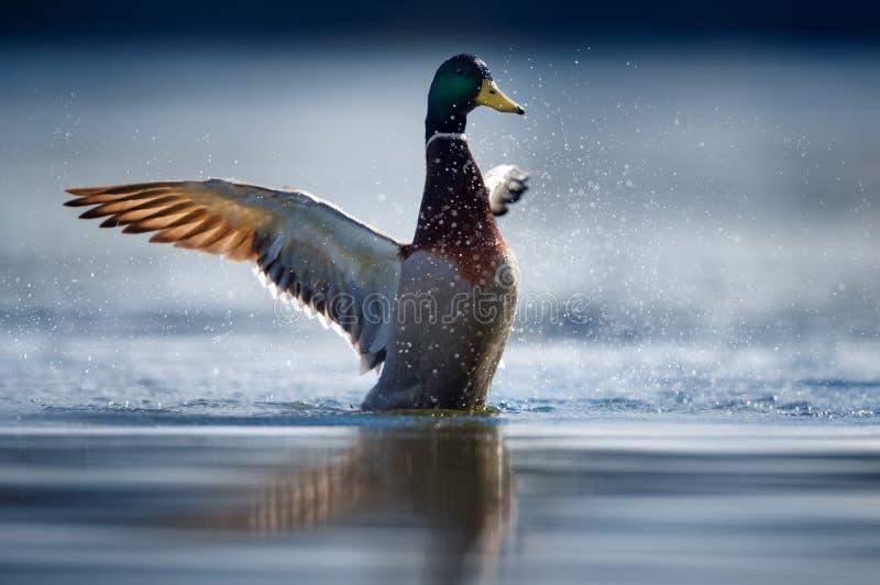 Męski Mallard kaczki rozciąganie na jeziorze zdjęcia royalty free