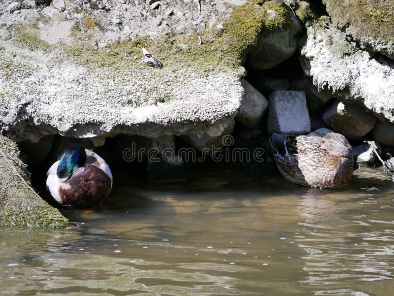 Męski mallard pływa na rzece na zewnątrz miasta miasto dni drogi ramenskoye Moscow najbli?sza park do sunny wiosna piękny młody k obrazy stock