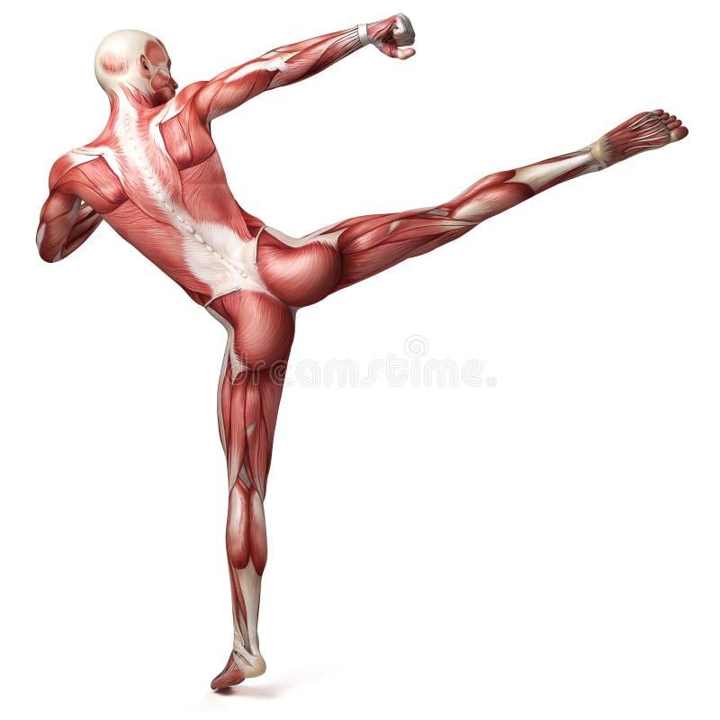 Męski mięśniowy system ilustracja wektor