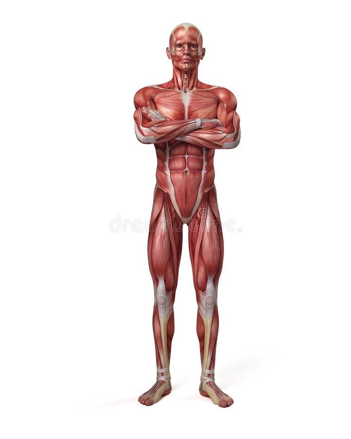 penis mięśniowy