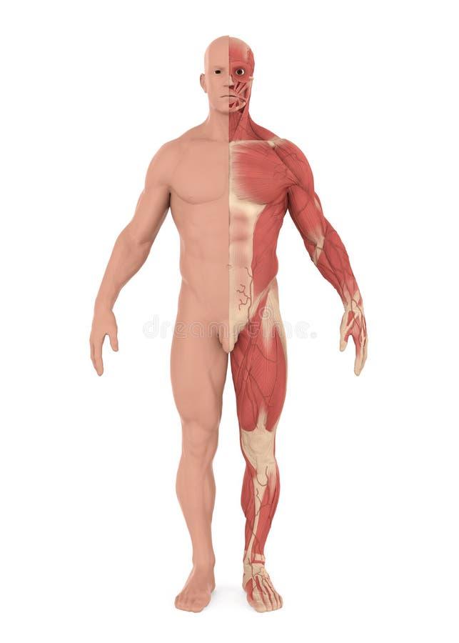 Męski Mięśniowy system Odizolowywający ilustracji