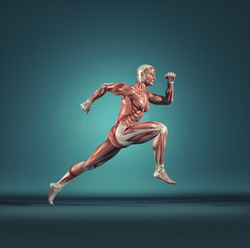 Męski mięśniowy systemu biegać royalty ilustracja