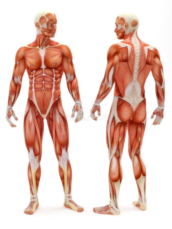 Męski musculoskeletal system ilustracji