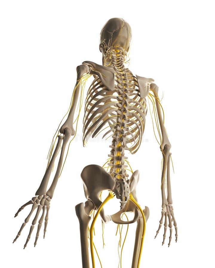 Męski nerwu system ilustracja wektor