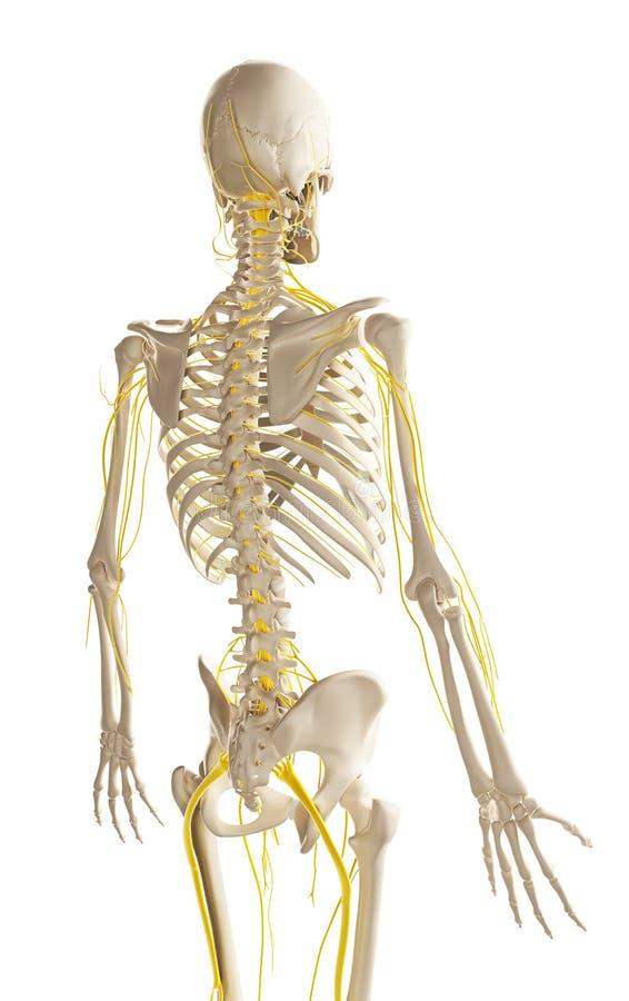 Męski nerwu system ilustracji