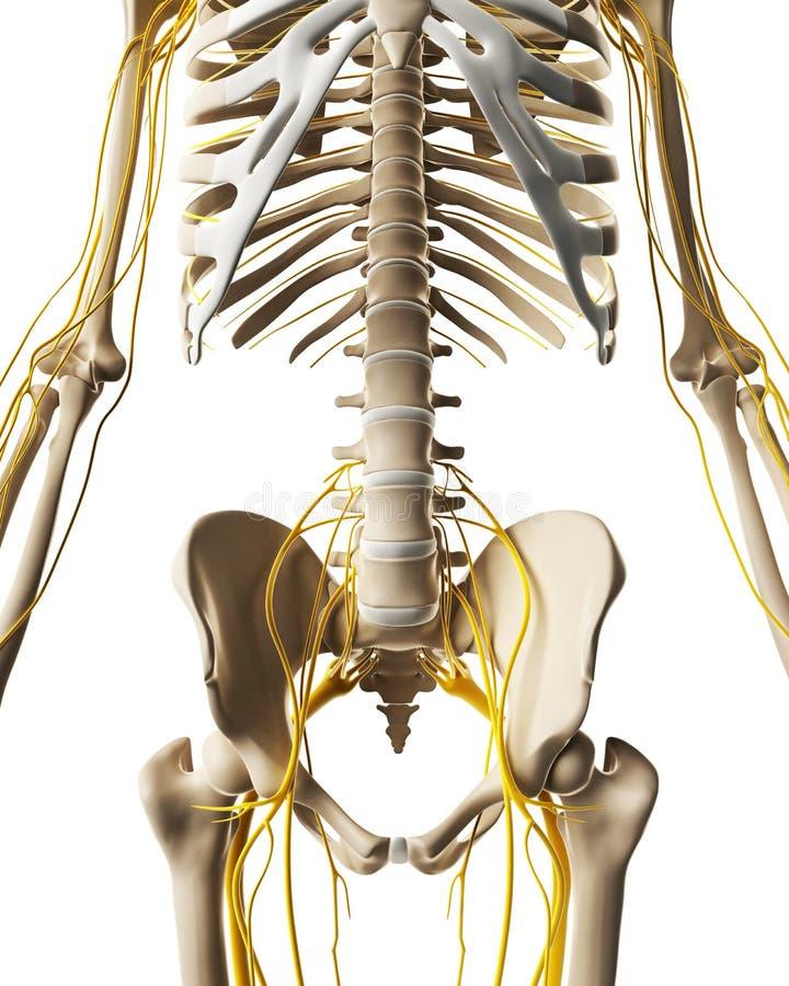 Męski nerwu system royalty ilustracja