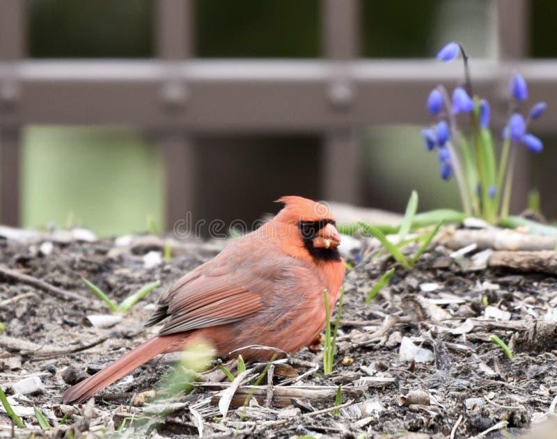 Męski Północny kardynał zdjęcie royalty free