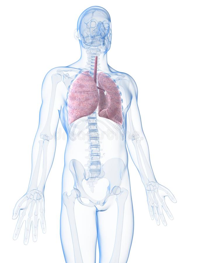Download Męski płuco ilustracji. Ilustracja złożonej z ciało, lunge - 28962223