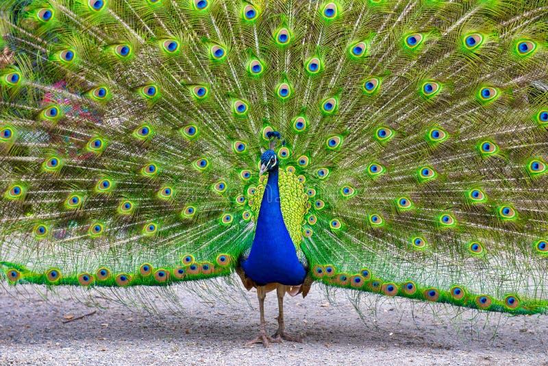 Męski paw pokazuje daleko jego wspaniałego upierzenie zdjęcia royalty free
