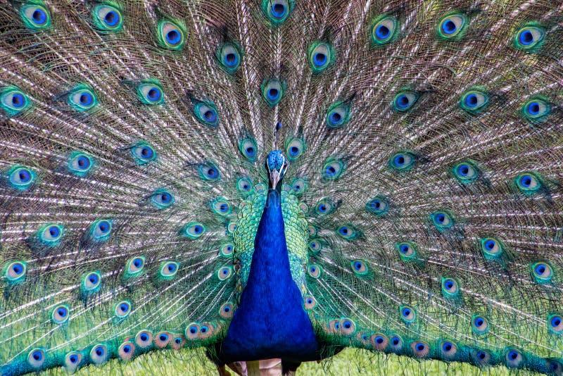 Męski paw wystawia pełnego upierzenie zdjęcia royalty free
