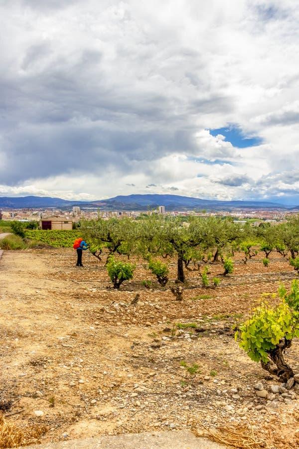 Męski pielgrzym w winnicy w losie angeles Rioja, Hiszpania zdjęcia royalty free