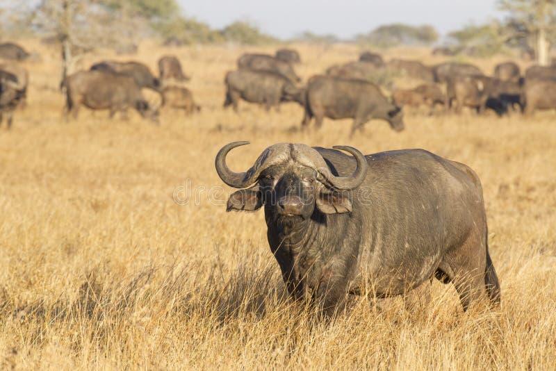 Męski przylądka bizon z stadem, Południowa Afryka obraz royalty free
