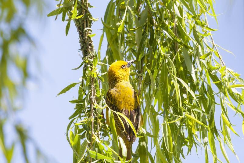 Męski przylądka tkacza Ploceus capensis budować anest w płacze wierzbowym drzewie nadwiesi tamę w wiośnie Jaskrawa żółta hodowla obraz royalty free