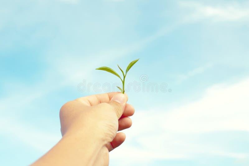 Męski ręki mienia zielonej herbaty liść z jasnym niebieskiego nieba tłem zdjęcie stock
