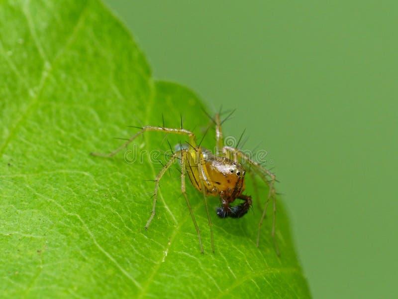 Męski rysia pająk Na Zielonym liściu obraz royalty free